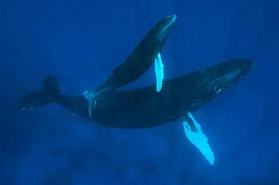 Humpback Whale, Megaptera Novaeangliae Art Print by Mauricio Handler