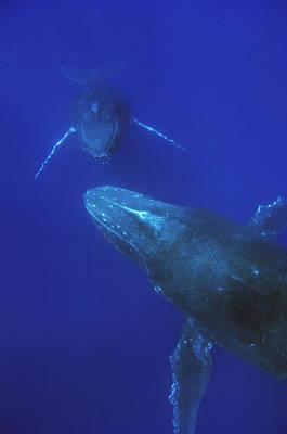 Photograph - Humpback Whale Pair Maui Hawaii by Flip Nicklin