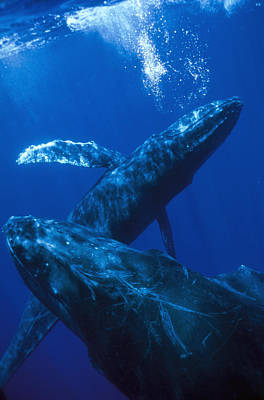 Mar2713 Photograph - Humpback Whale Singer Blowing Bubbles by Flip Nicklin