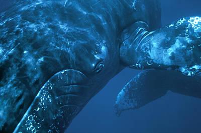Photograph - Humpback Whale Singer Maui by Flip Nicklin