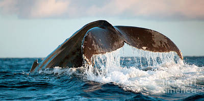 Humpback Whale Tail Art Print by Monica and Michael Sweet