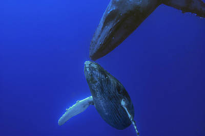 Photograph - Humpback Whale Yearling And Mother Maui by Flip Nicklin