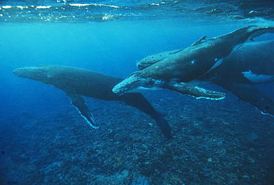 Rurutu Photograph - Humpback Whales With A Calf by Alexis Rosenfeld
