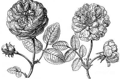 Hundred-leafed Rose Art Print by Granger