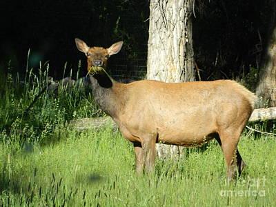 Colorado Photograph - Hungry Colorado Elk by Sara  Mayer