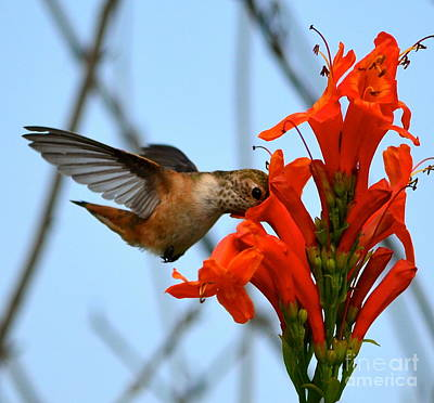 Photograph - Hungry Hummer by Johanne Peale