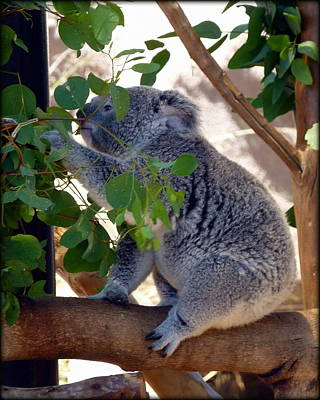 Photograph - Hungry Koala  by Carla Parris