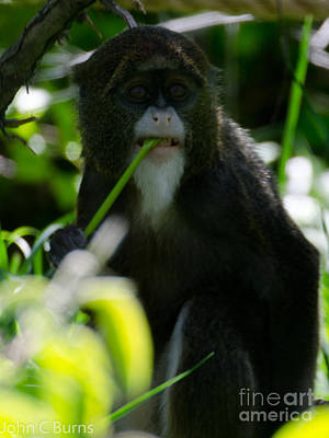 Photograph - Hungry Monkey by John Burns