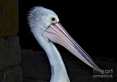 Hungry Pelican Art Print by Kaye Menner