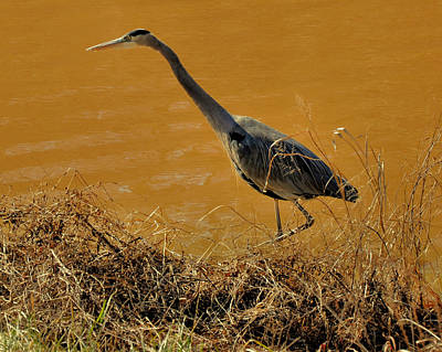 Heron Photograph - Hunting Great Blue Heron - C3806e by Paul Lyndon Phillips