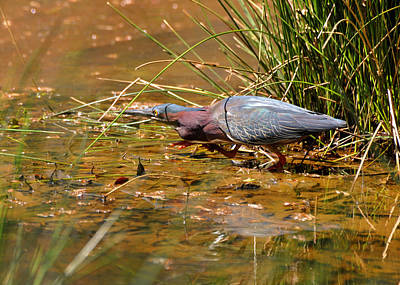 Hunting Green Heron - C9822b Art Print by Paul Lyndon Phillips