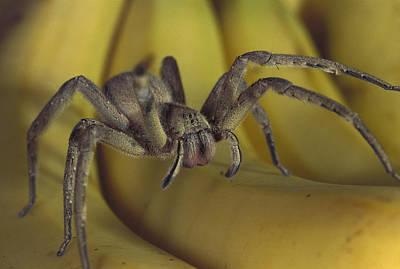 Hunting Spider Cupiennius Salei Walking Print by Heidi & Hans-Juergen Koch