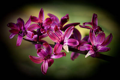 Photograph - Hyacinth by Chris Boulton