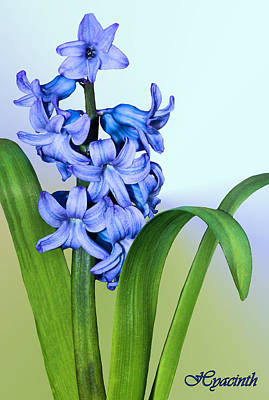 Photograph - Hyacinth by Kristin Elmquist