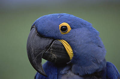 Photograph - Hyacinth Macaw Anodorhynchus by Konrad Wothe