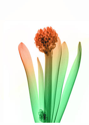 X-ray Image Photograph - Hyacinth_6 by Peter Dazeley