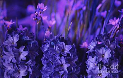 Spring Bulbs Photograph - Hyacinths  by Marjorie Imbeau