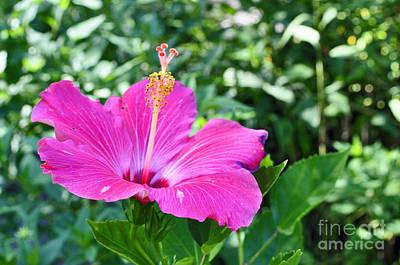 Photograph - Hybiscus by Doug Heavlow