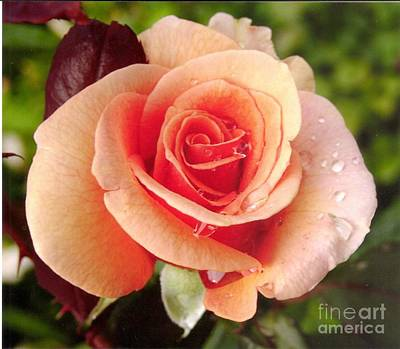 Photograph - Hybrid Tea Rose Brandy 3 by Rod Ismay