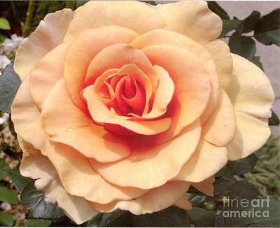 Photograph - Hybrid Tea Rose Brandy 5 by Rod Ismay