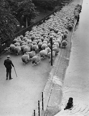 Flock Of Sheep Photograph - Hyde Park Sheep by G W Hales