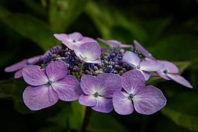 Photograph - Hydrangea by Andreas Levi
