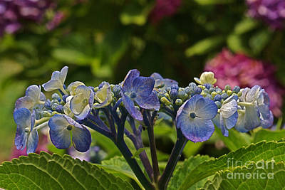 Photograph - Hydrangea Blossoms by Byron Varvarigos