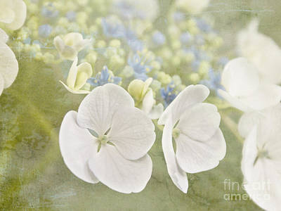 Photograph - Hydrangea Dreams by Cindy Garber Iverson
