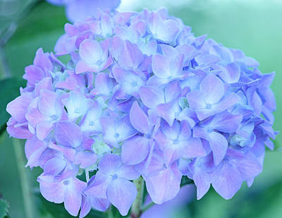 Becky Photograph - Hydrangea Glow by Becky Lodes