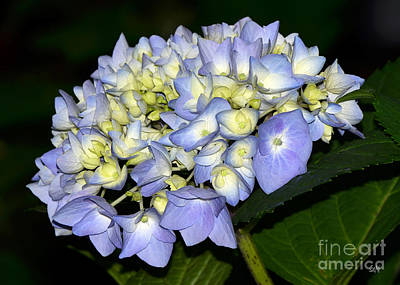 Photograph - Hydrangea In Bloom by Sami Martin