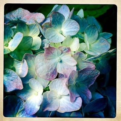 Iphone 4s Photograph - Hydrangea Loveliness by Penni D'Aulerio