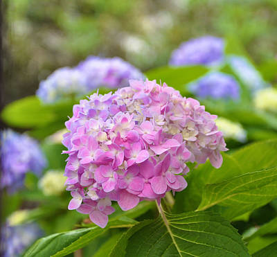 Photograph - Hydrangea On S Battery by Lori Kesten