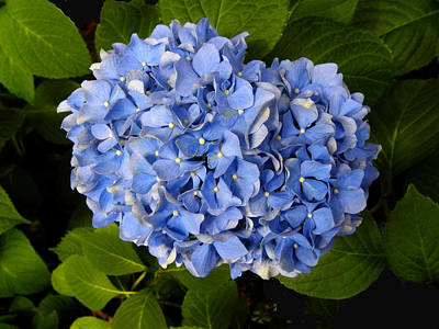 Photograph - Blue Hydrangea by Sandi OReilly