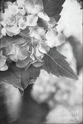 Hydrangeas In Black And White Art Print by Stephanie Frey