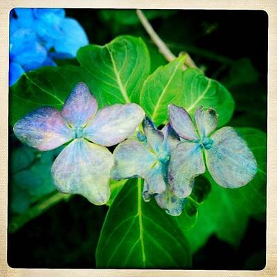 Iphone 4s Photograph - Hydrangeas  by Penni D'Aulerio