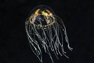 Medusa Photograph - Hydrozoan Medusa by Alexander Semenov