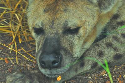 Photograph - Hyena by Puzzles Shum