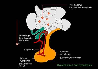 Hypothalamus And Hypophysis, Diagram Art Print by Francis Leroy, Biocosmos