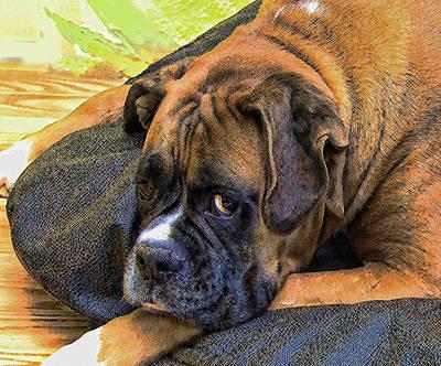 Boxer Dog Digital Art - I Am Sad by Sergey  Nassyrov