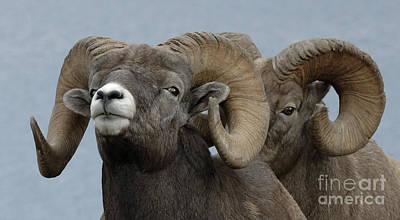 Big Horn Sheep Photograph - Big Horn Sheep 1 by Bob Christopher