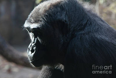 Silverback Photograph - I Think Therfore I Am by Keith Kapple