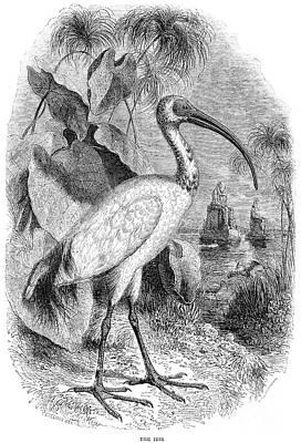 Ibis Art Print by Granger