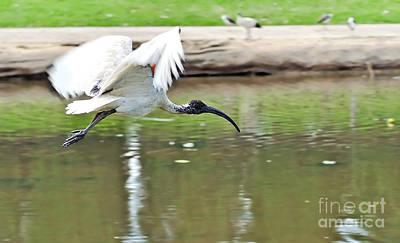 Sean - Ibis in Flight by Kaye Menner