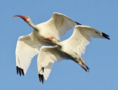 Ibis In Flight Art Print by Paulette Thomas