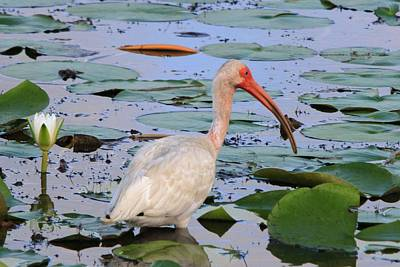 Photograph - Ibis In The Pads by Ira Runyan