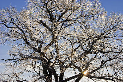 Photograph - Ice Covered Tree At Sunrise by Keith Webber Jr