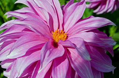Photograph - Ice Pink Dahlia by Tikvah's Hope