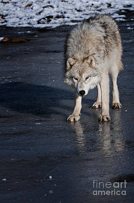 Black. Arctic Wolf Photograph - Ice Wolf by Michael Cummings