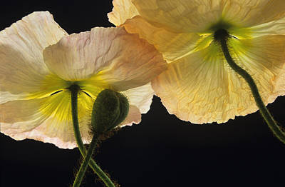 Inspriation Photograph - Iceland Poppies 2 by Susan Rovira