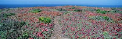 Anacapa Photograph - iceplant And Coreopsis On Anacapa Island, Channel Islands, California by VisionsofAmerica/Joe Sohm